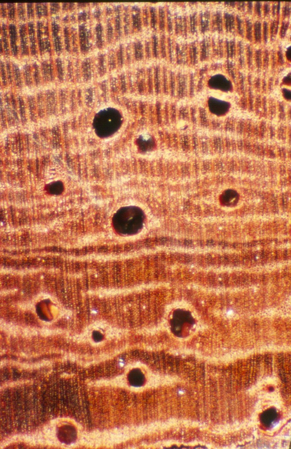 LEGUMINOSAE PAPILIONOIDEAE Pterocarpus soyauxii