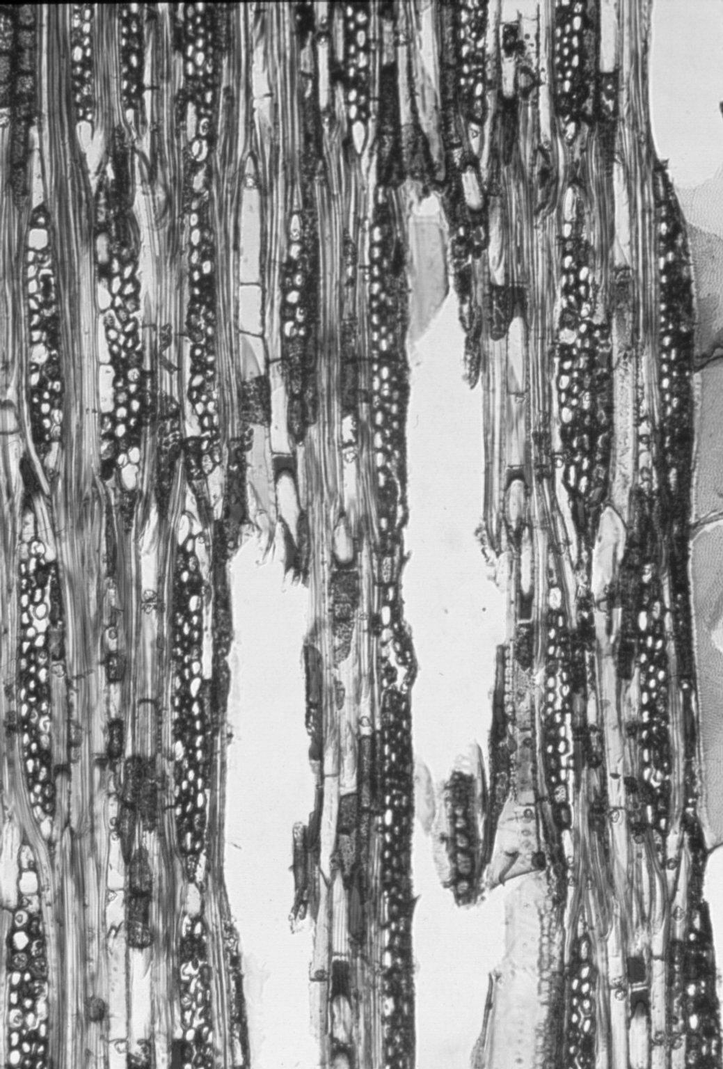 MALVACEAE BROWNLOWIOIDEAE Brownlowia argentata