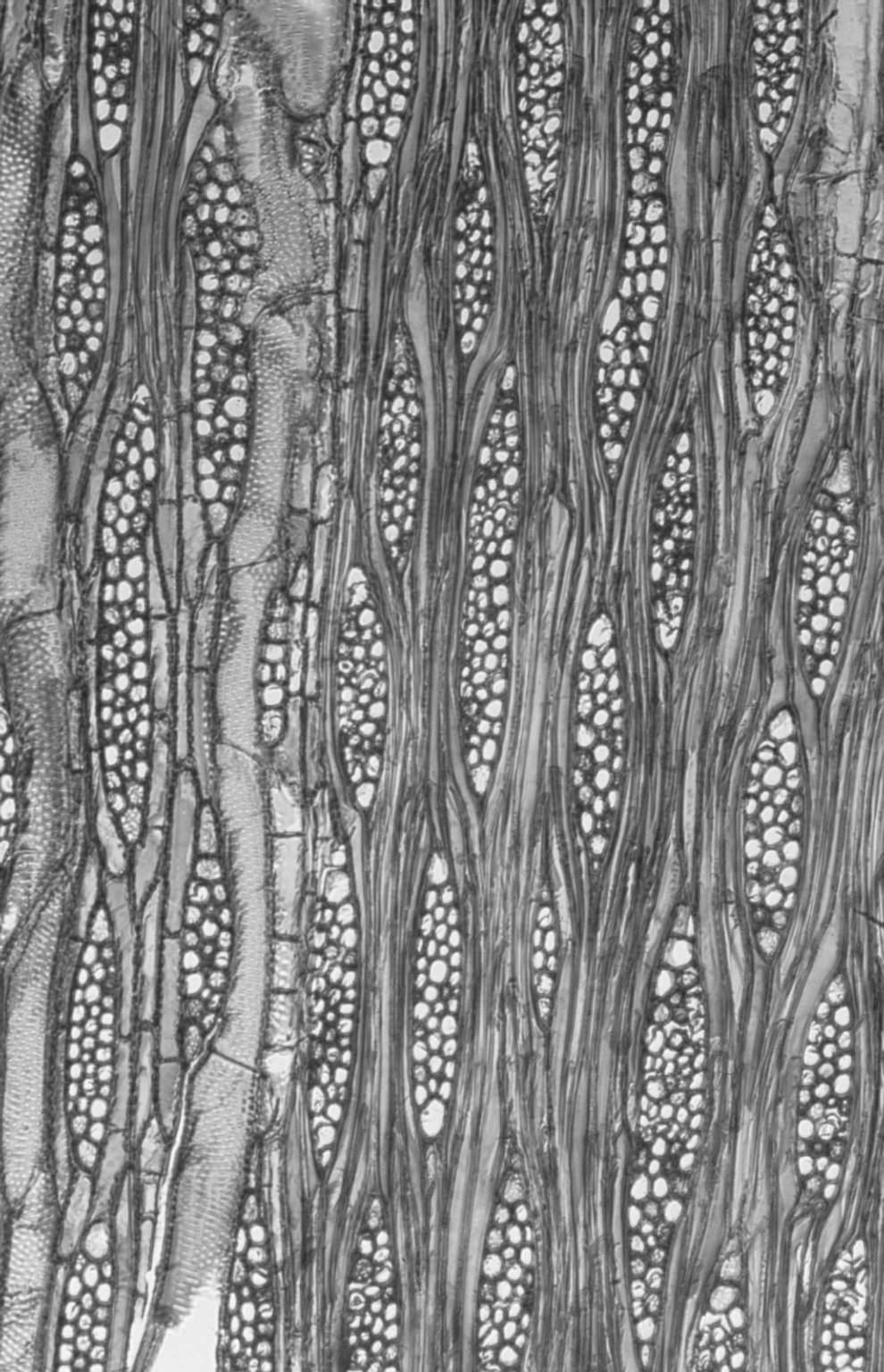 ULMACEAE Holoptelea integrifolia