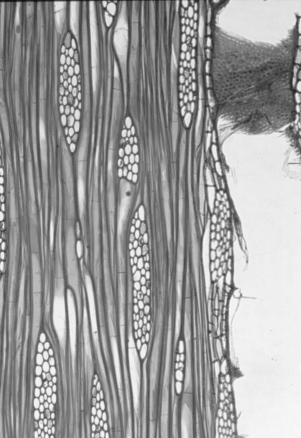 LAMIACEAE Gmelina arborea