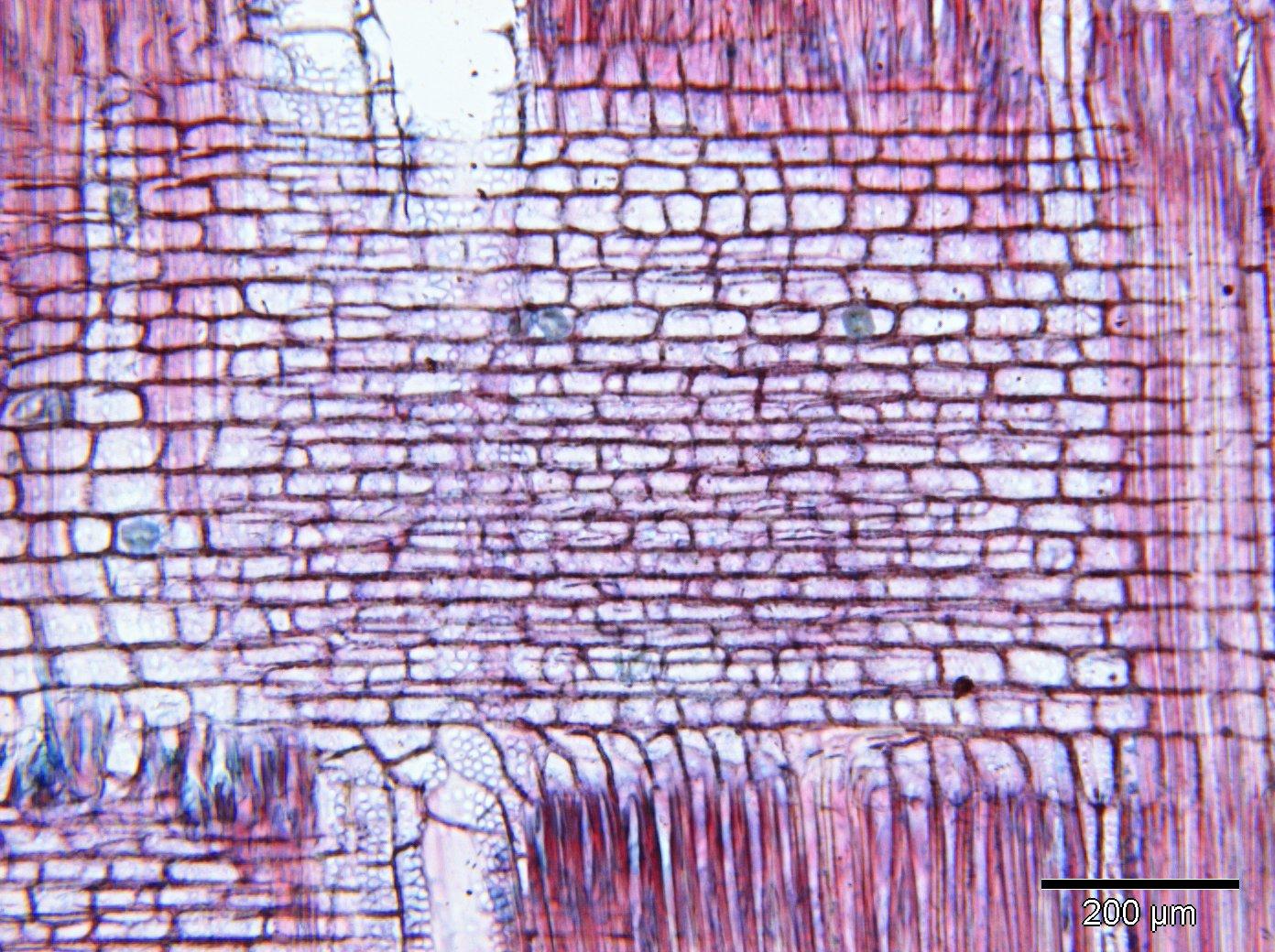 LECYTHIDACEAE Barringtonia longisepala