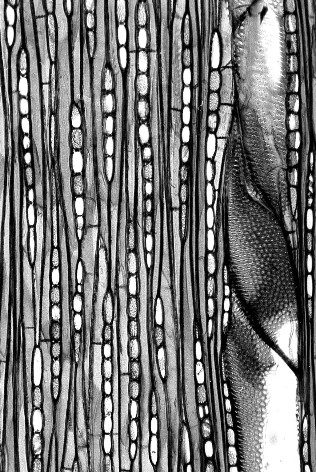 EUPHORBIACEAE Sapium glandulatum