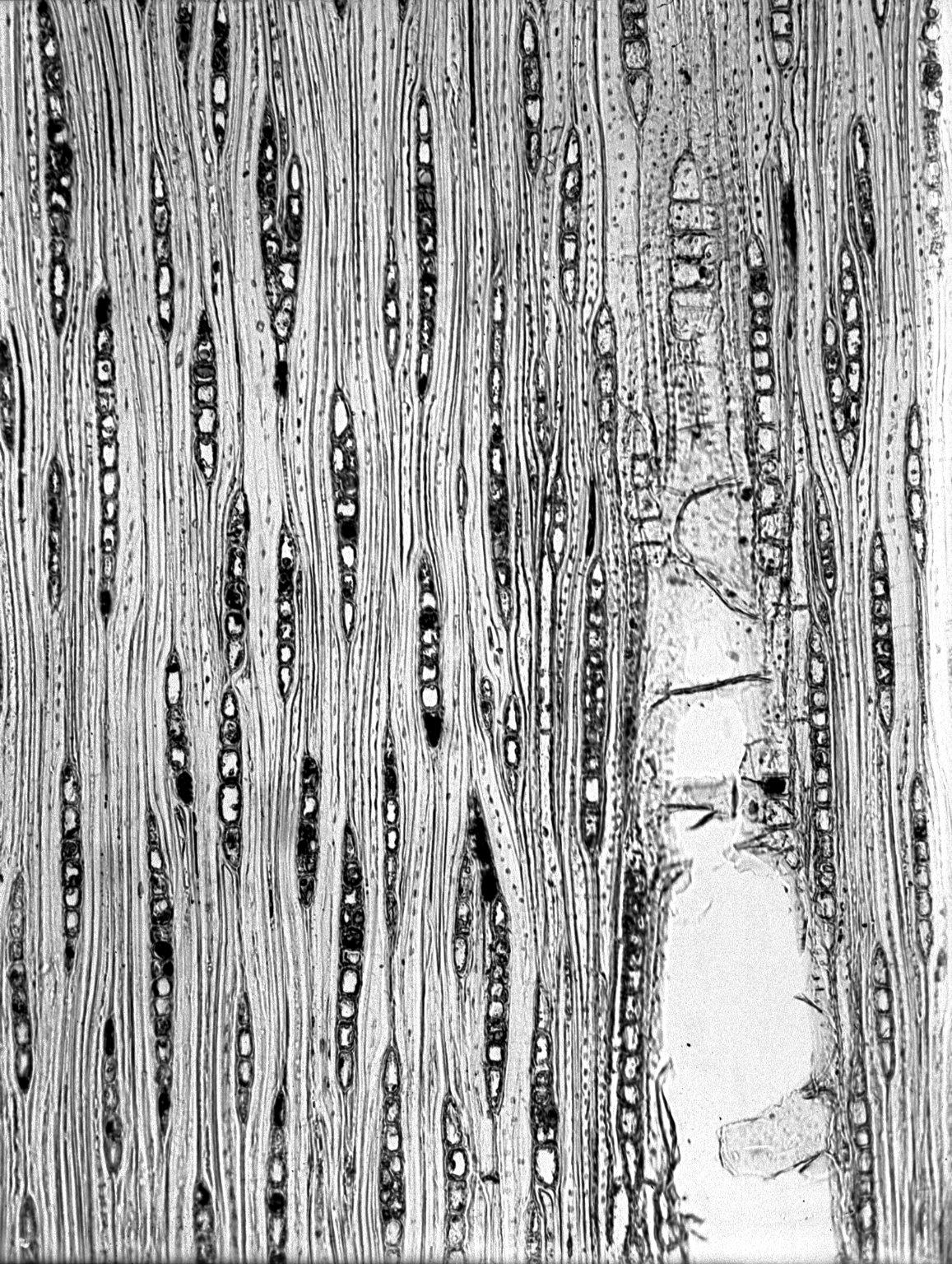 MYRTACEAE Eucalyptus microcorys