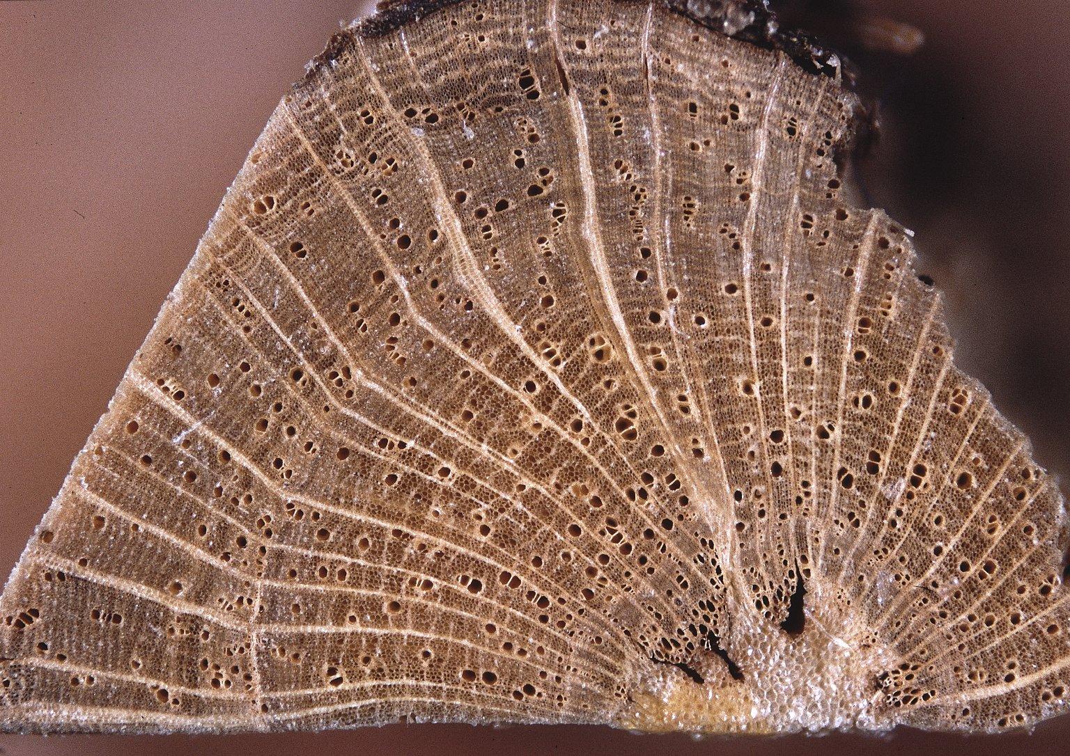 ANNONACEAE Raimondia cherimolioides