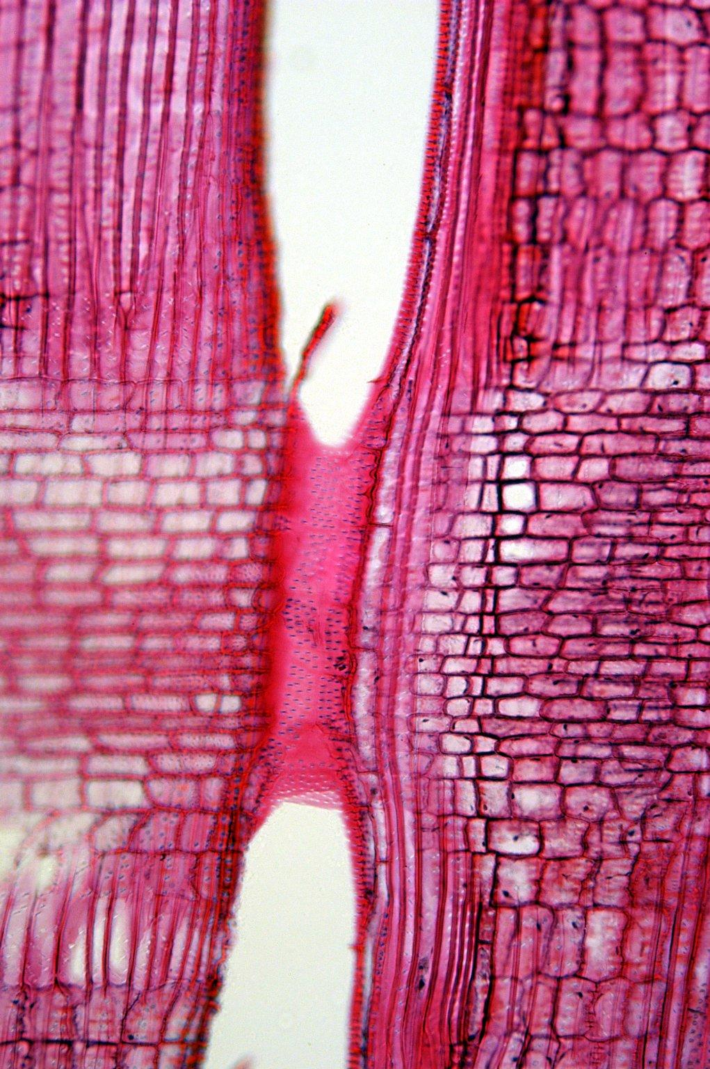 APOCYNACEAE Trachelospermum asiaticum