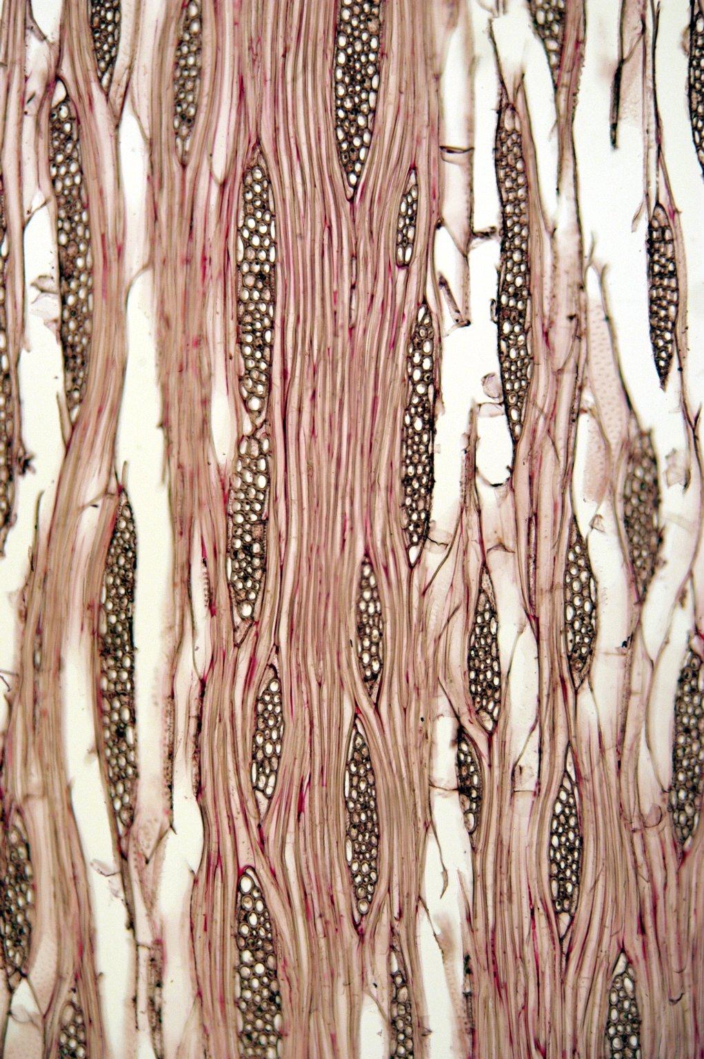 VIBURNACEAE Sambucus sieboldiana