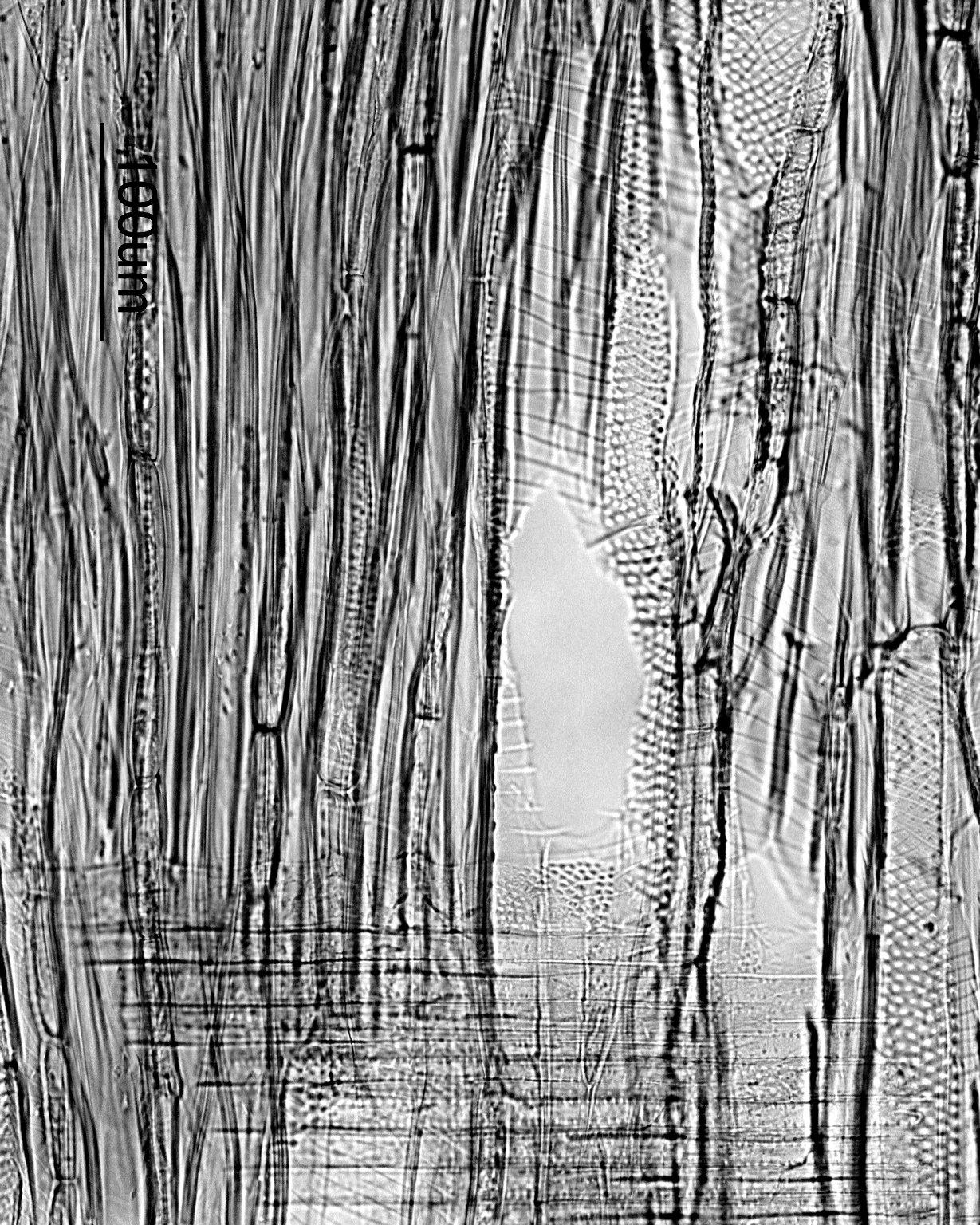 MALVACEAE TILIOIDEAE Tilia japonica