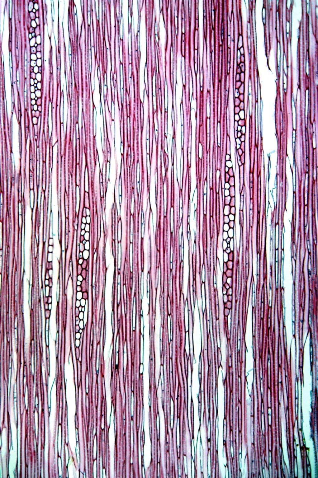 ERICACEAE Vaccinium hirtum pubescens