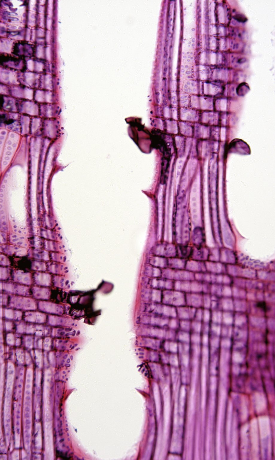 FAGACEAE Castanopsis sieboldii