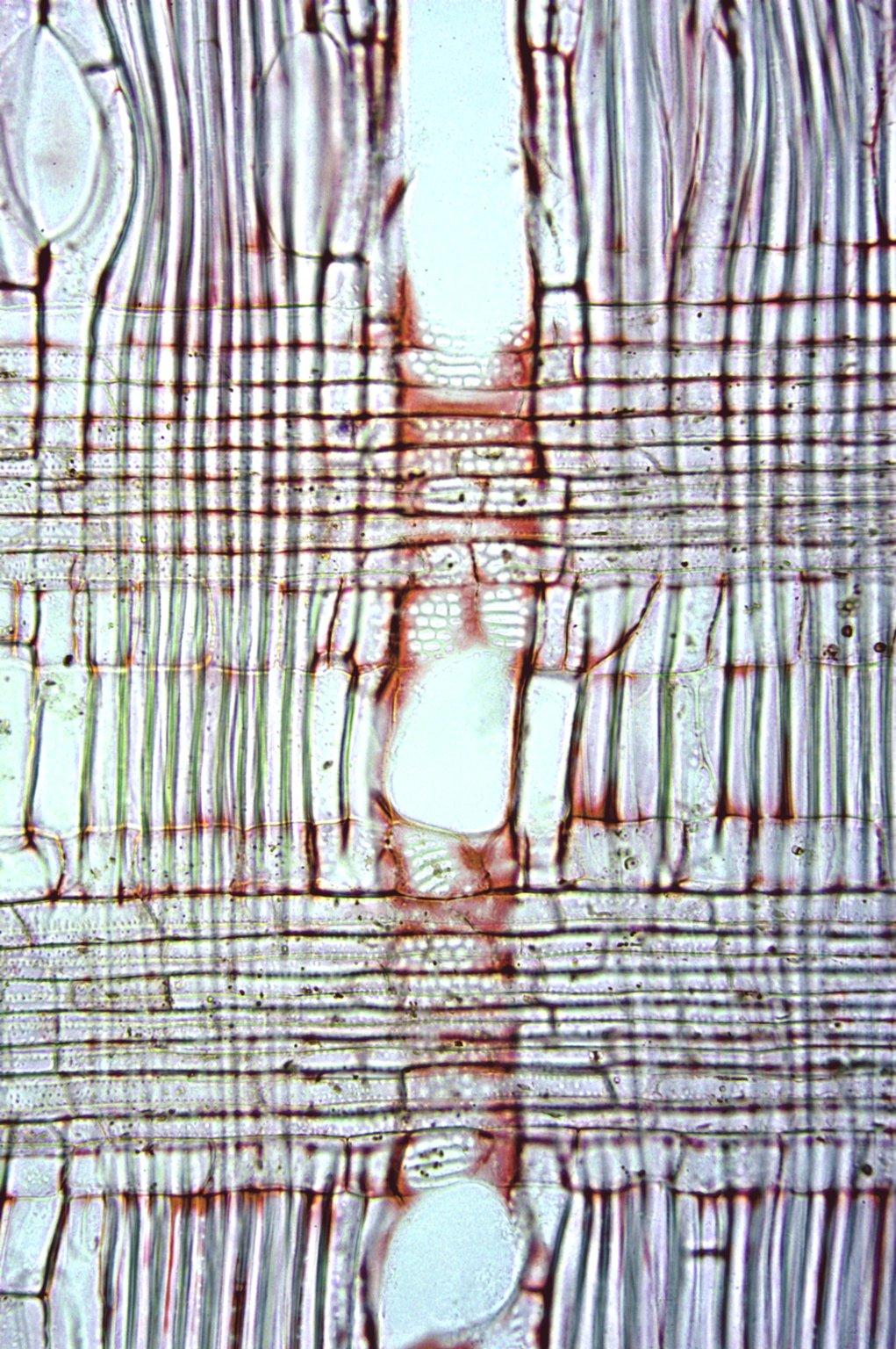 LAURACEAE Cinnamomum doederleinii