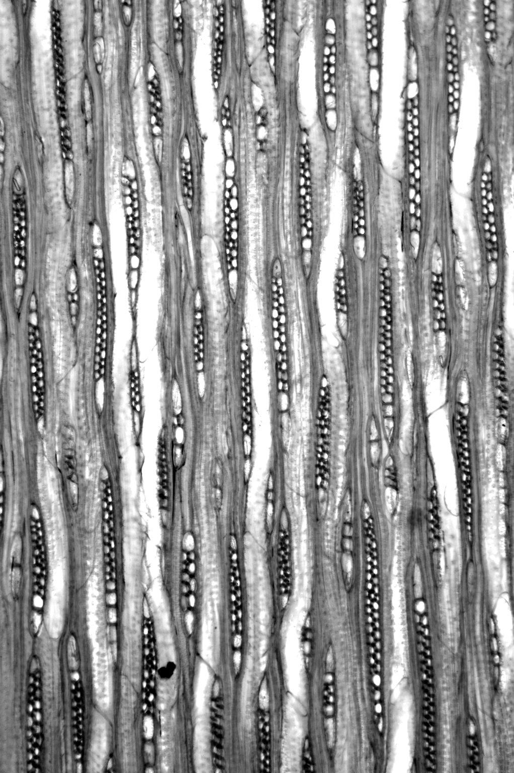 OLEACEAE Ligustrum lucidum