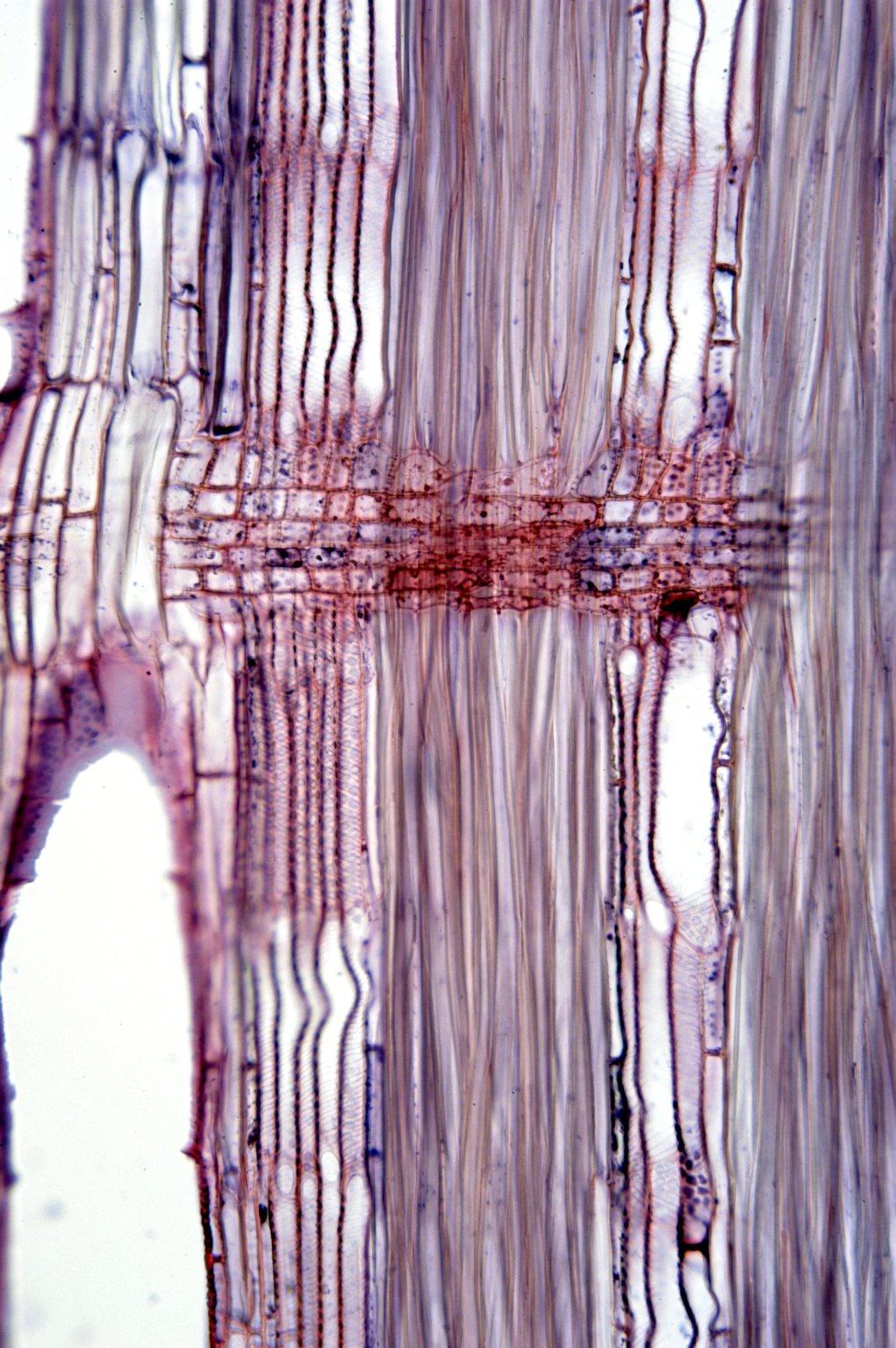 LEGUMINOSAE PAPILIONOIDEAE Maackia amurensis buergeri