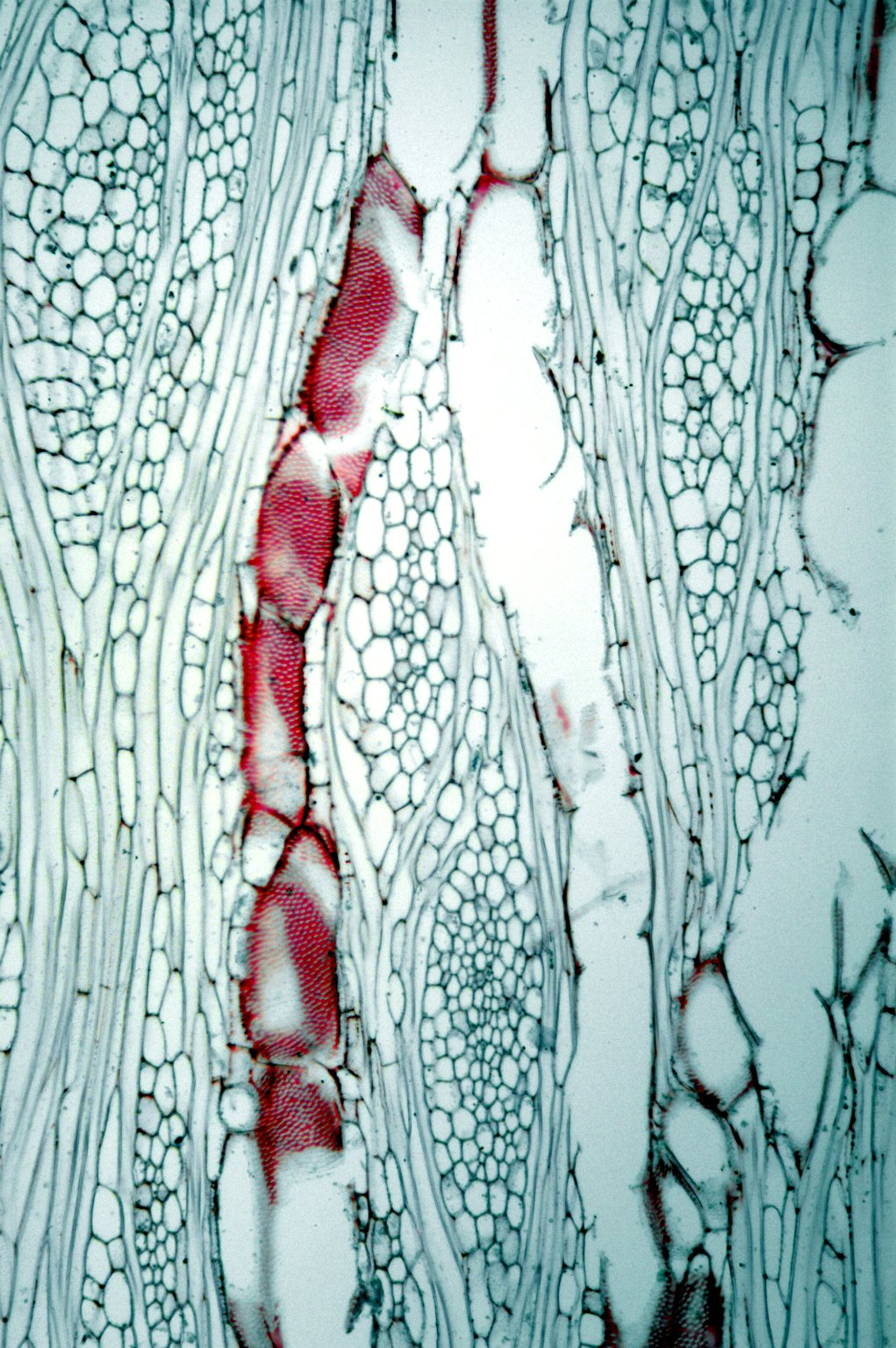 MALVACEAE MALVOIDEAE Hibiscus mutabilis