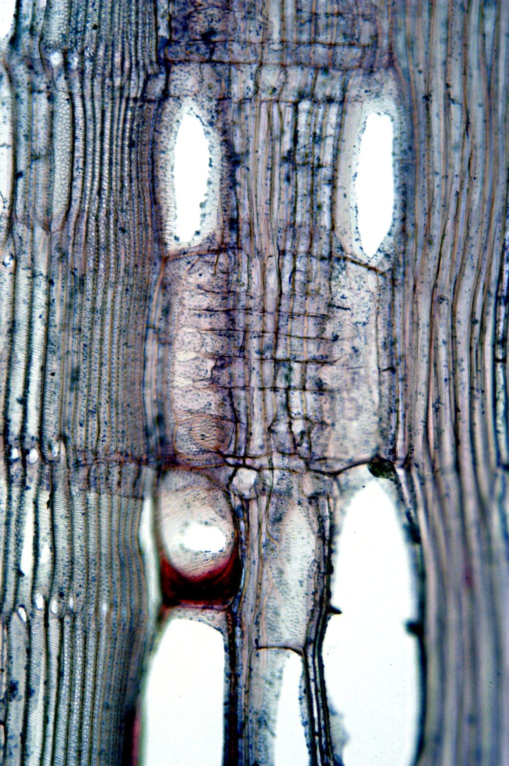 MALVACEAE MALVOIDEAE Hibiscus syriacus