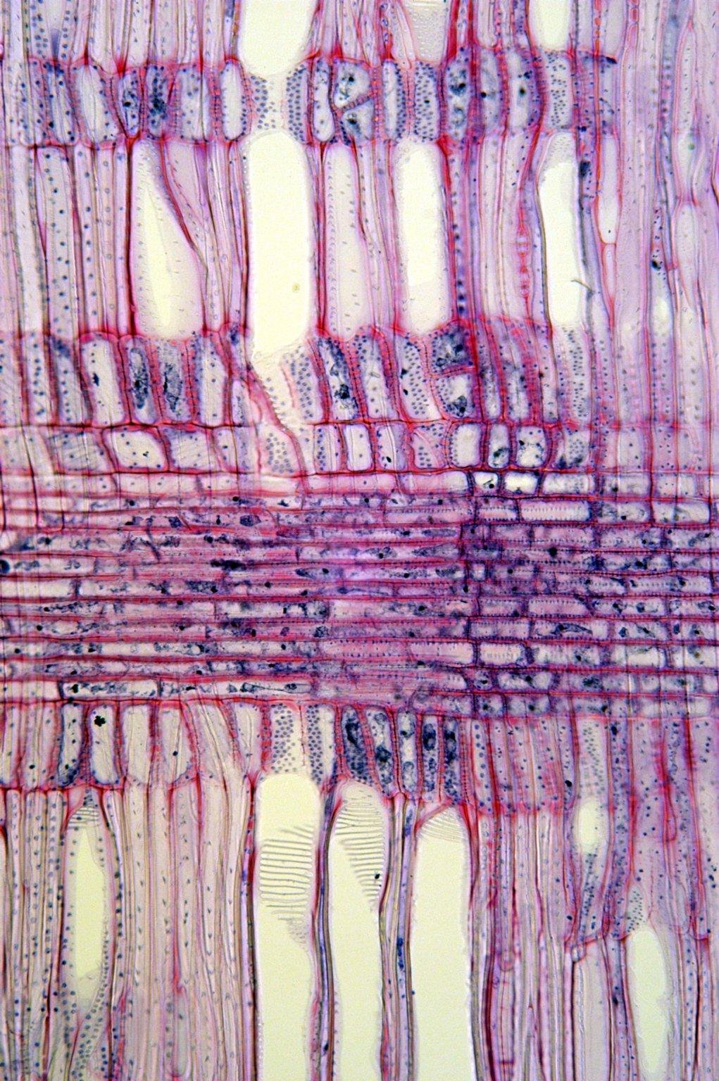 ERICACEAE Lyonia ovalifolia elliptica