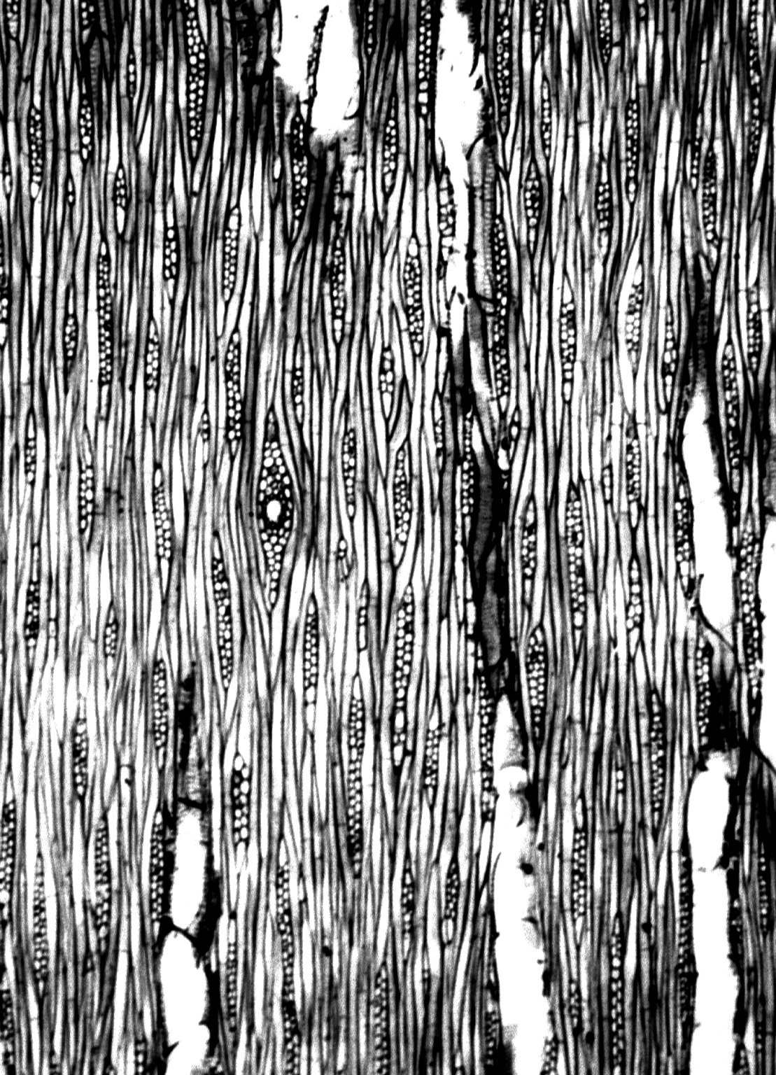 ANACARDIACEAE Buchanania engleriana