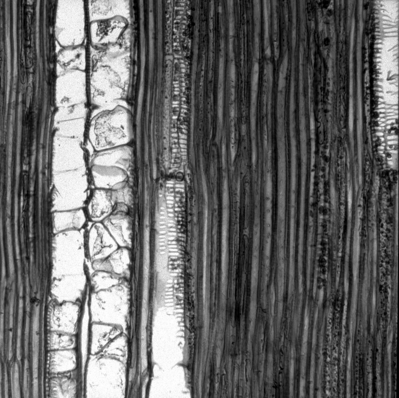 BEGONIACEAE Begonia sp