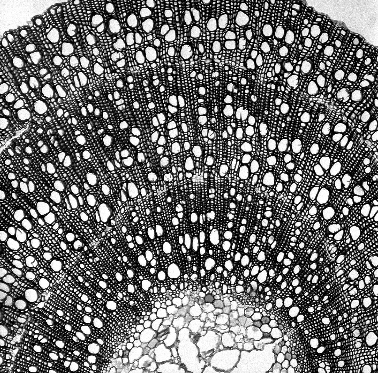 HYDROPHYLLACEAE Phacelia ramosissimum