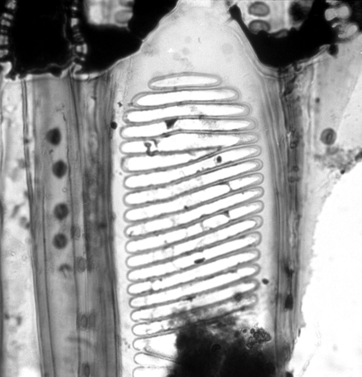 PENTAPHYLACACEAE Pentaphylax euryoides