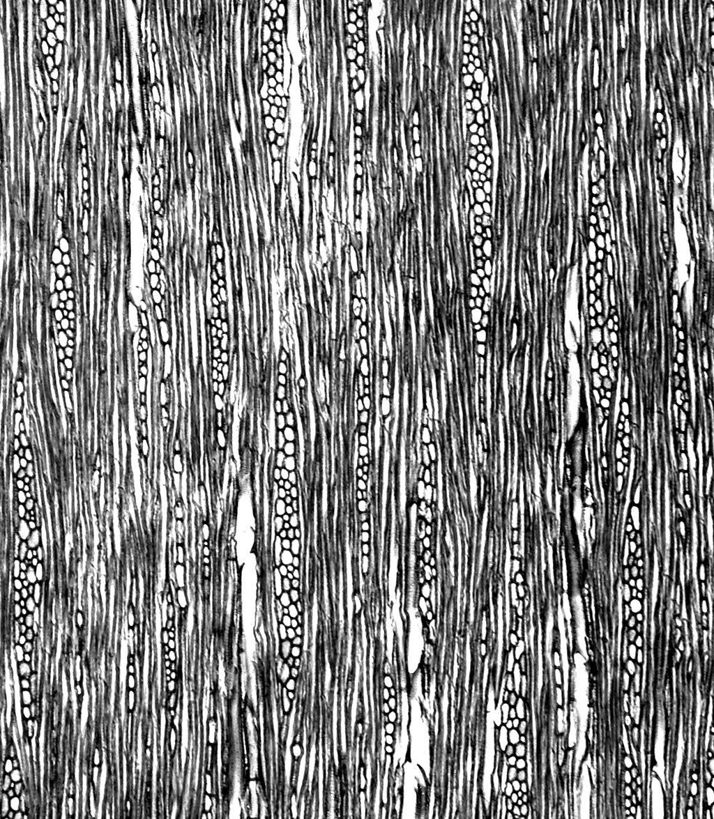 POLEMONIACEAE Cantua buxifolia
