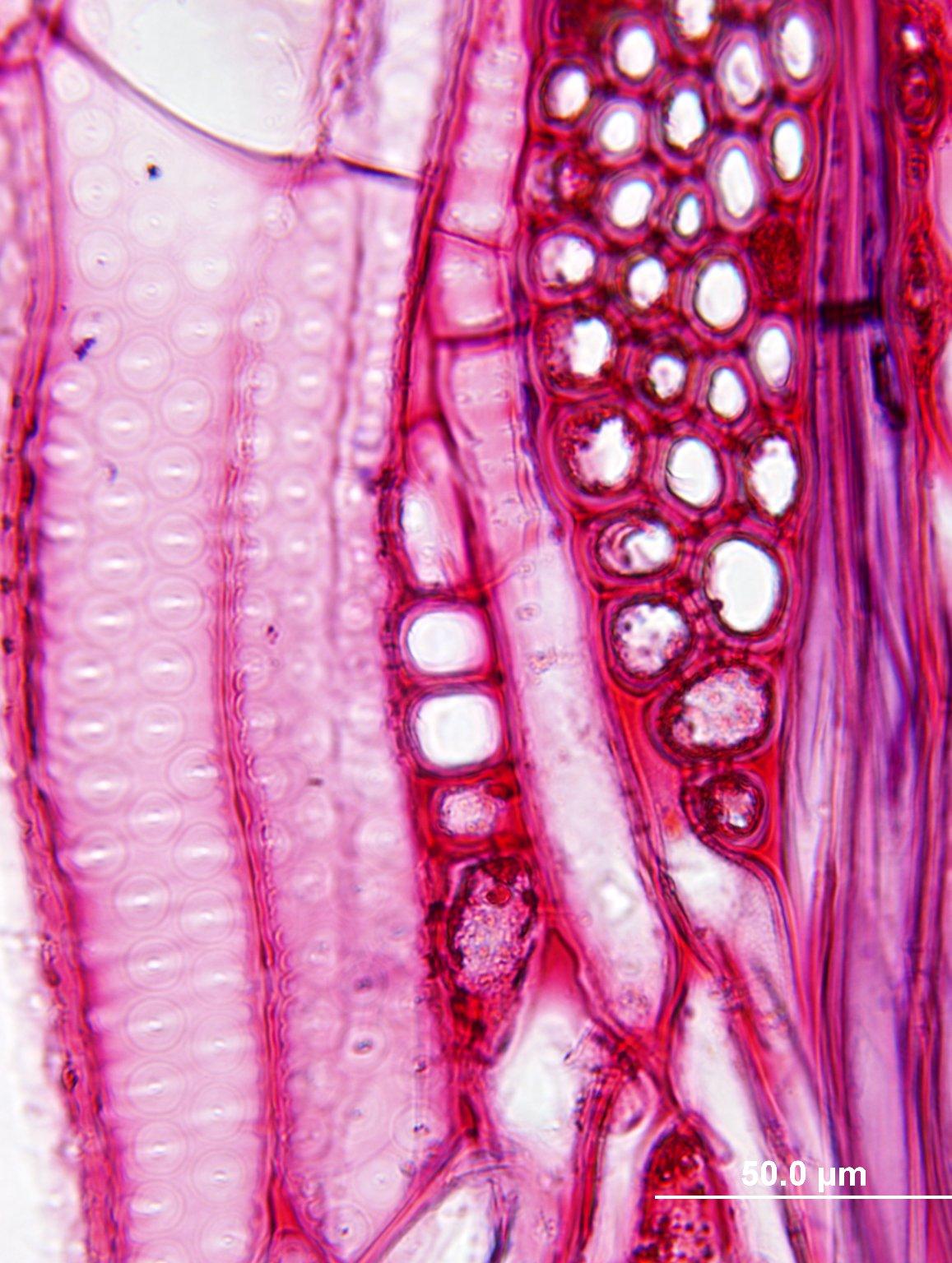 ULMACEAE Ulmus macrocarpa