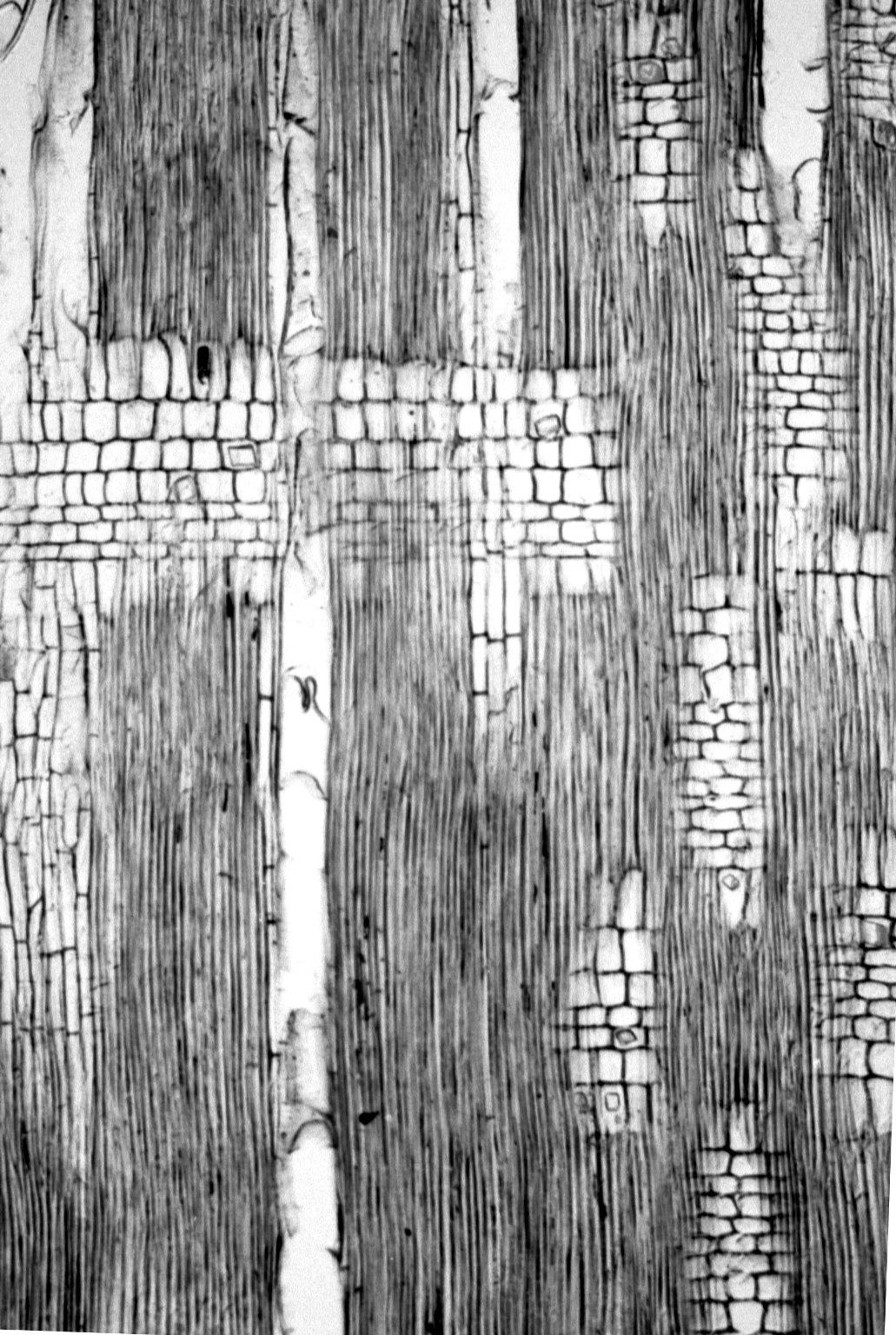BURSERACEAE Protium guianense
