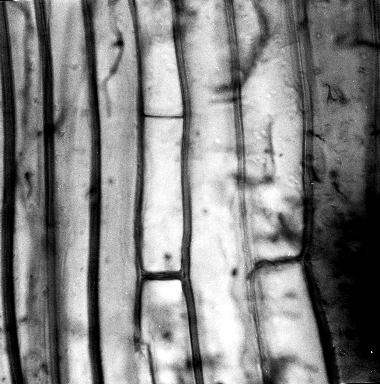 ASCLEPIADACEAE Calotropis procera