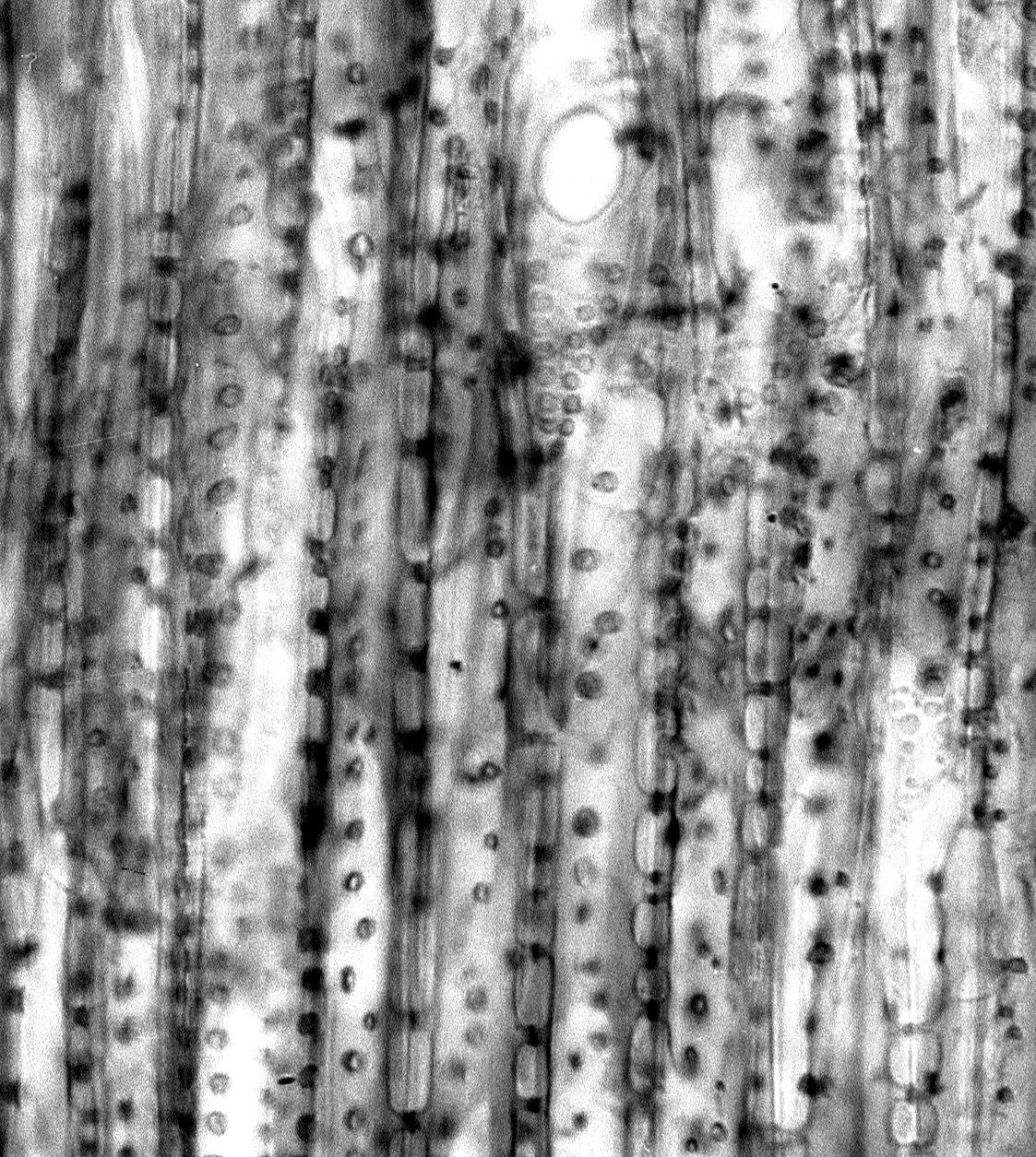PLANTAGINACEAE Campylanthus salsoloides