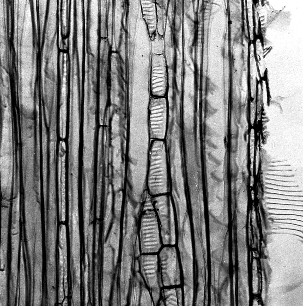 DEGENERIACEAE Degeneria vitiensis