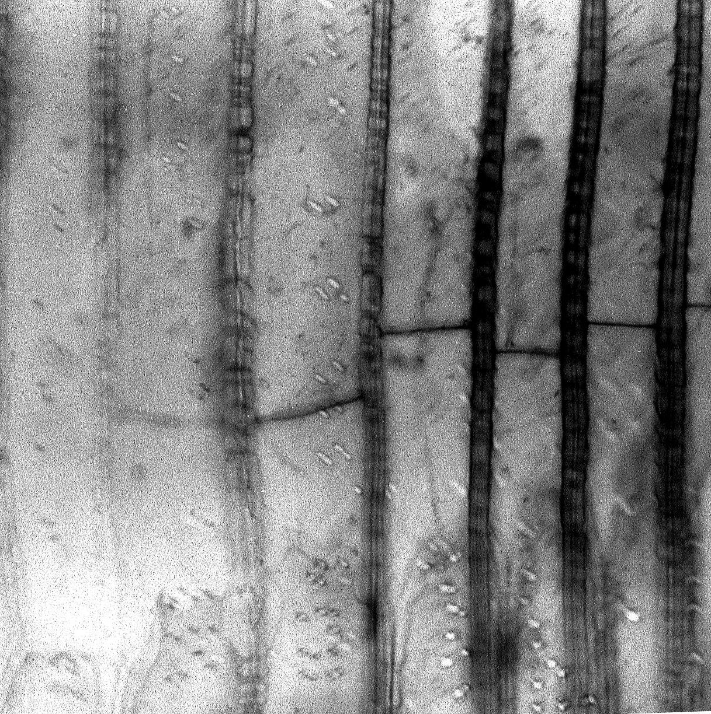 GESNERIACEAE Drymonia spectabilis