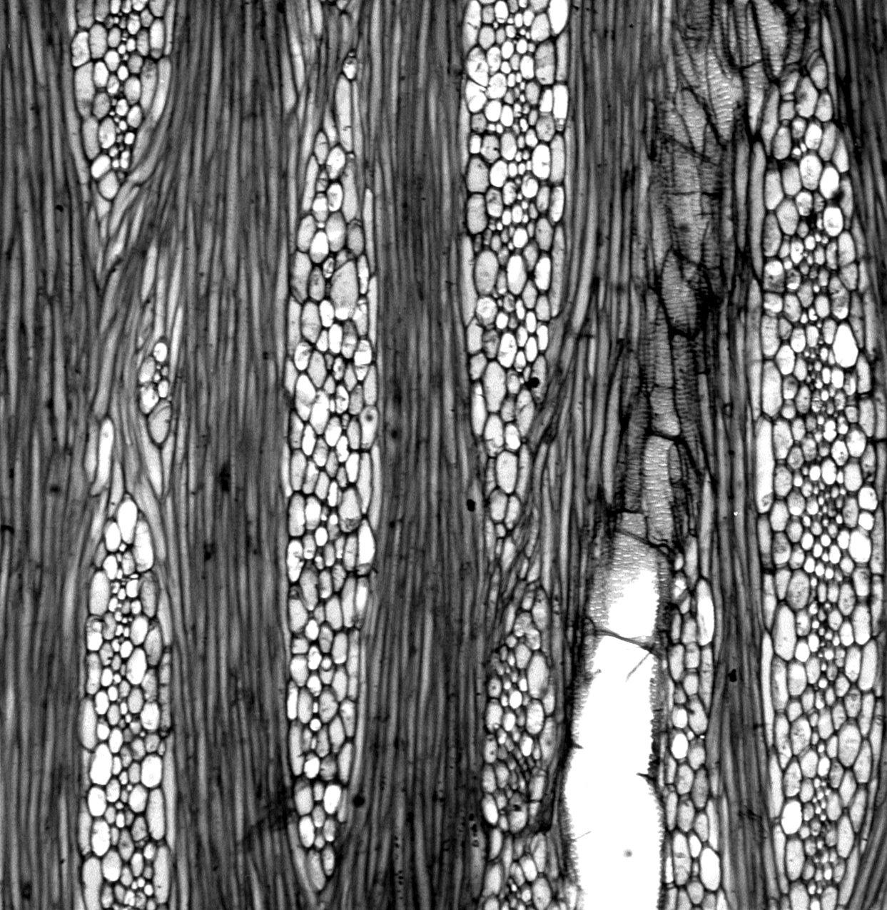 PAPAVERACEAE Bocconia integrifolia