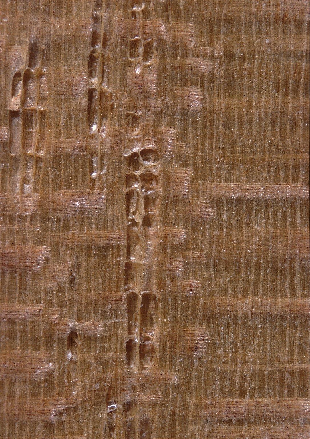 APOCYNACEAE Couma guianensis