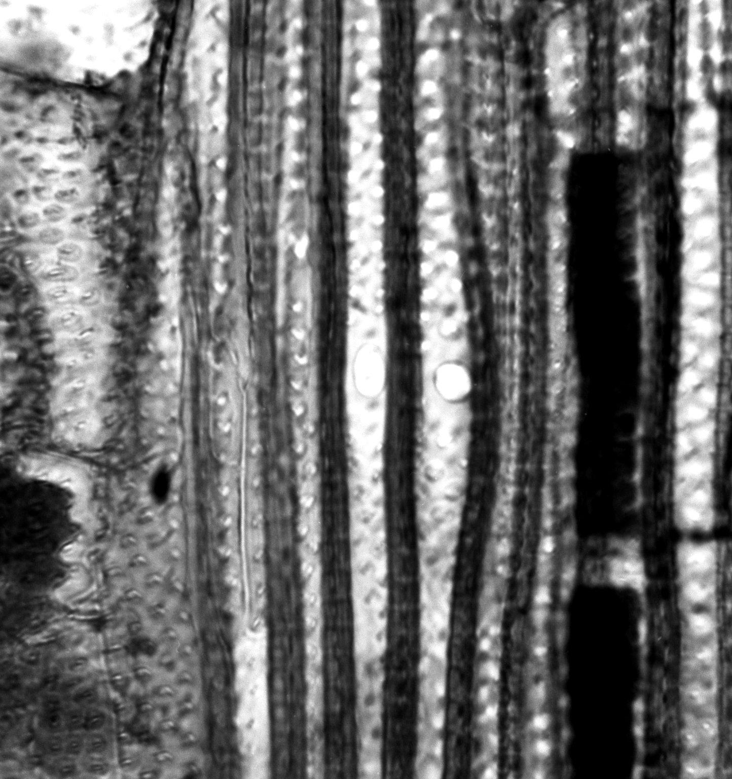ELATINACEAE Bergia suffruticosa