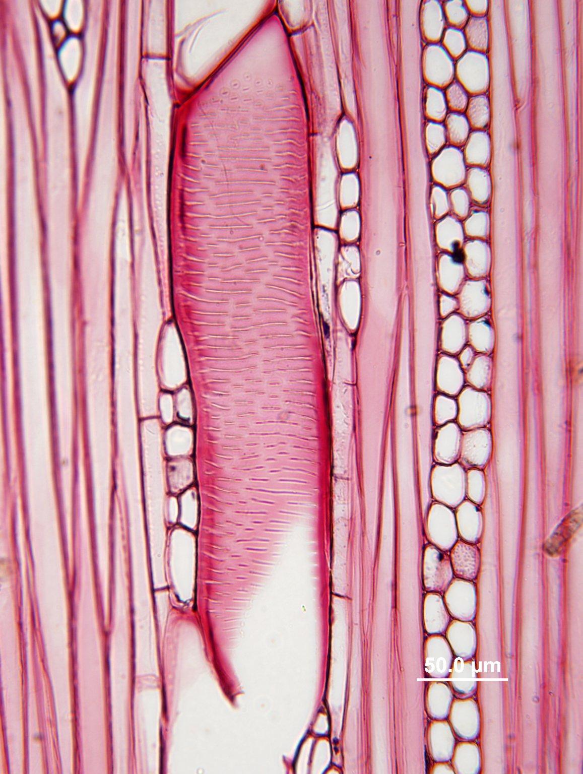 RUTACEAE Zanthoxylum clava-herculis