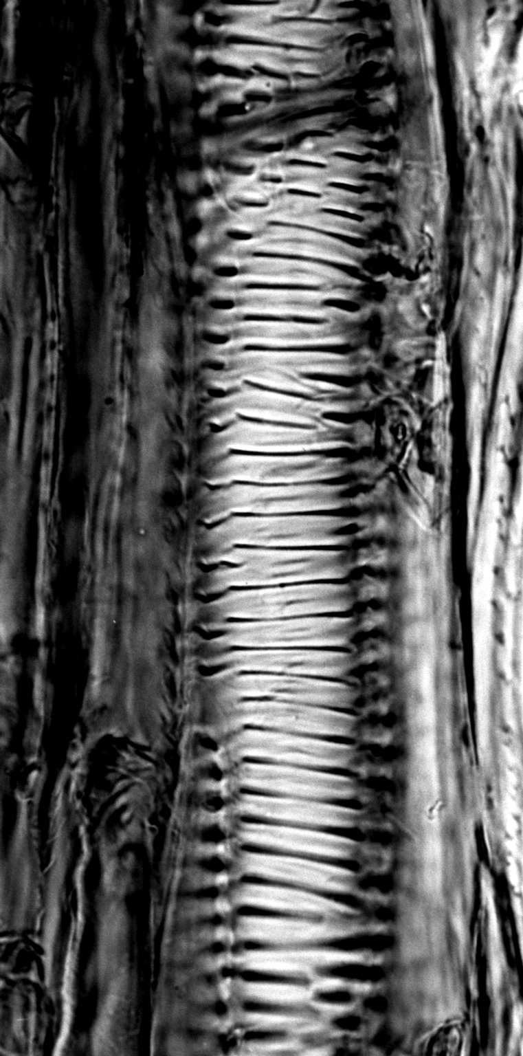 ASTERACEAE Coreopsis gigantea