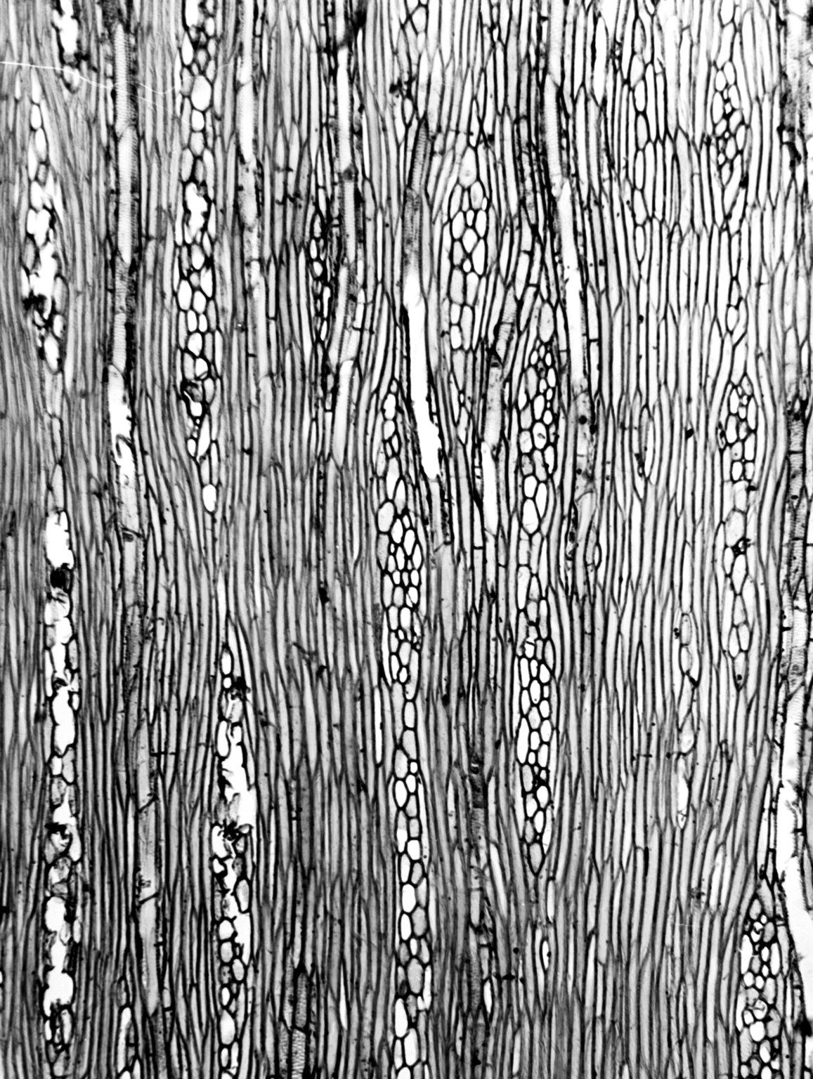 ASTERACEAE Taeckholmia pinnata