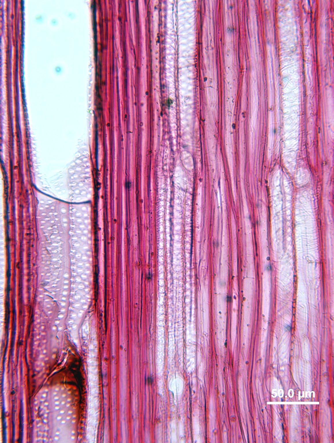 BERBERIDACEAE Berberis vulgaris