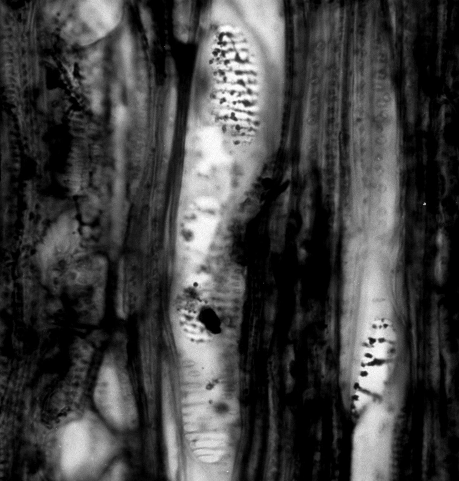 EMPETRACEAE Empetrum nigrum