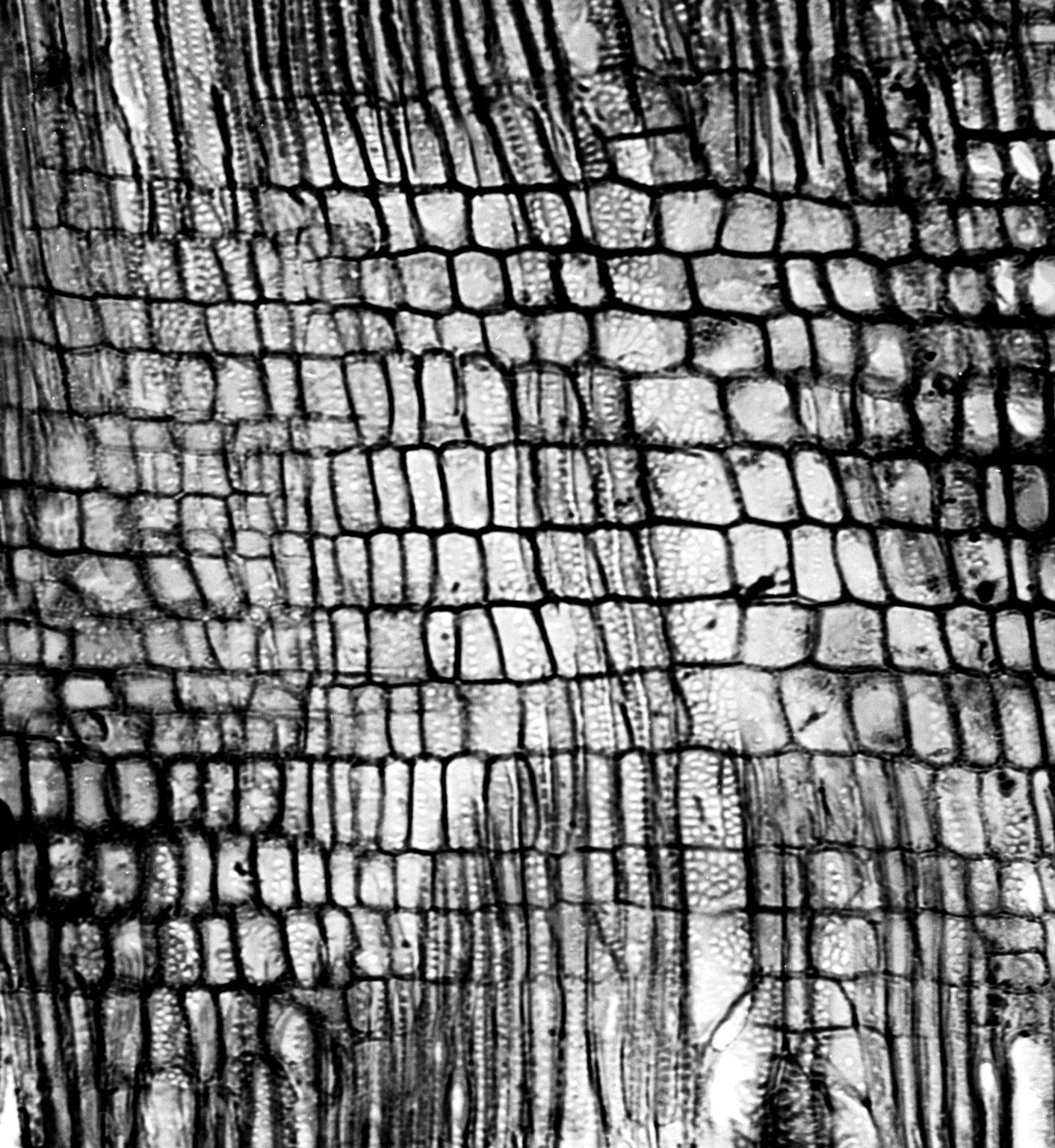 PITTOSPORACEAE Marianthus procumbens