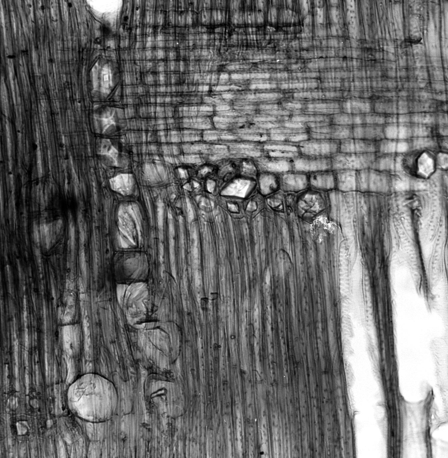 PITTOSPORACEAE Pittosporum erioloma