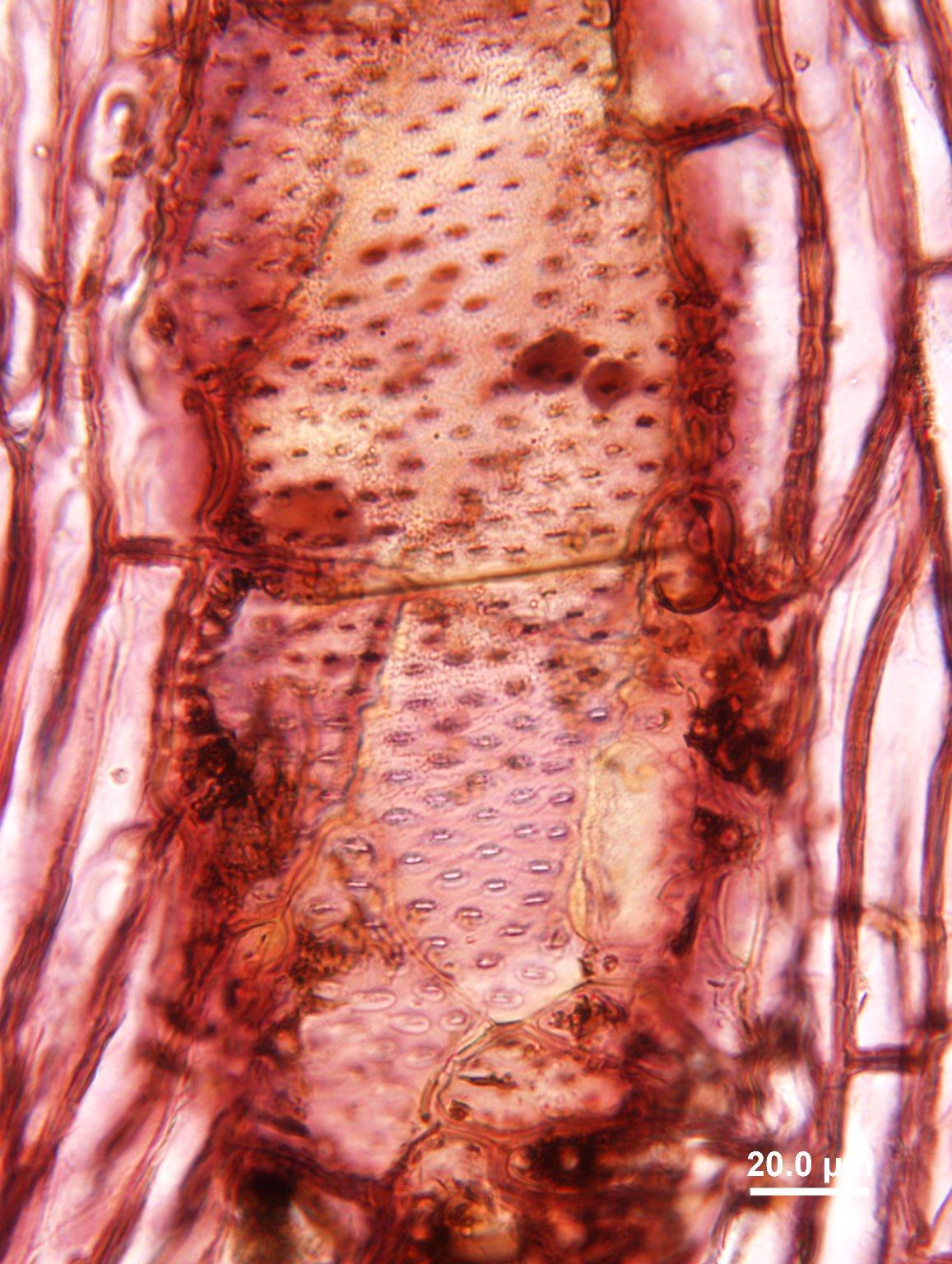 LEGUMINOSAE CAESALPINIOIDEAE Mimosoid Clade Prosopis nigra