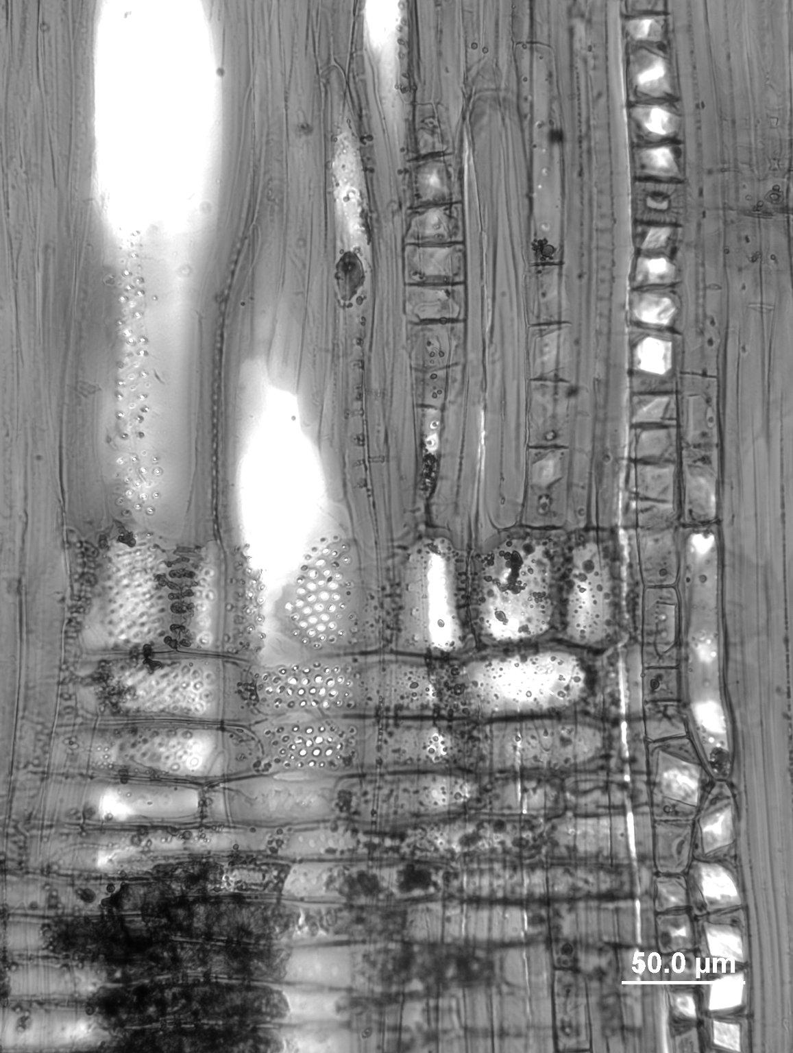 PICRODENDRACEAE Oldfieldia africana