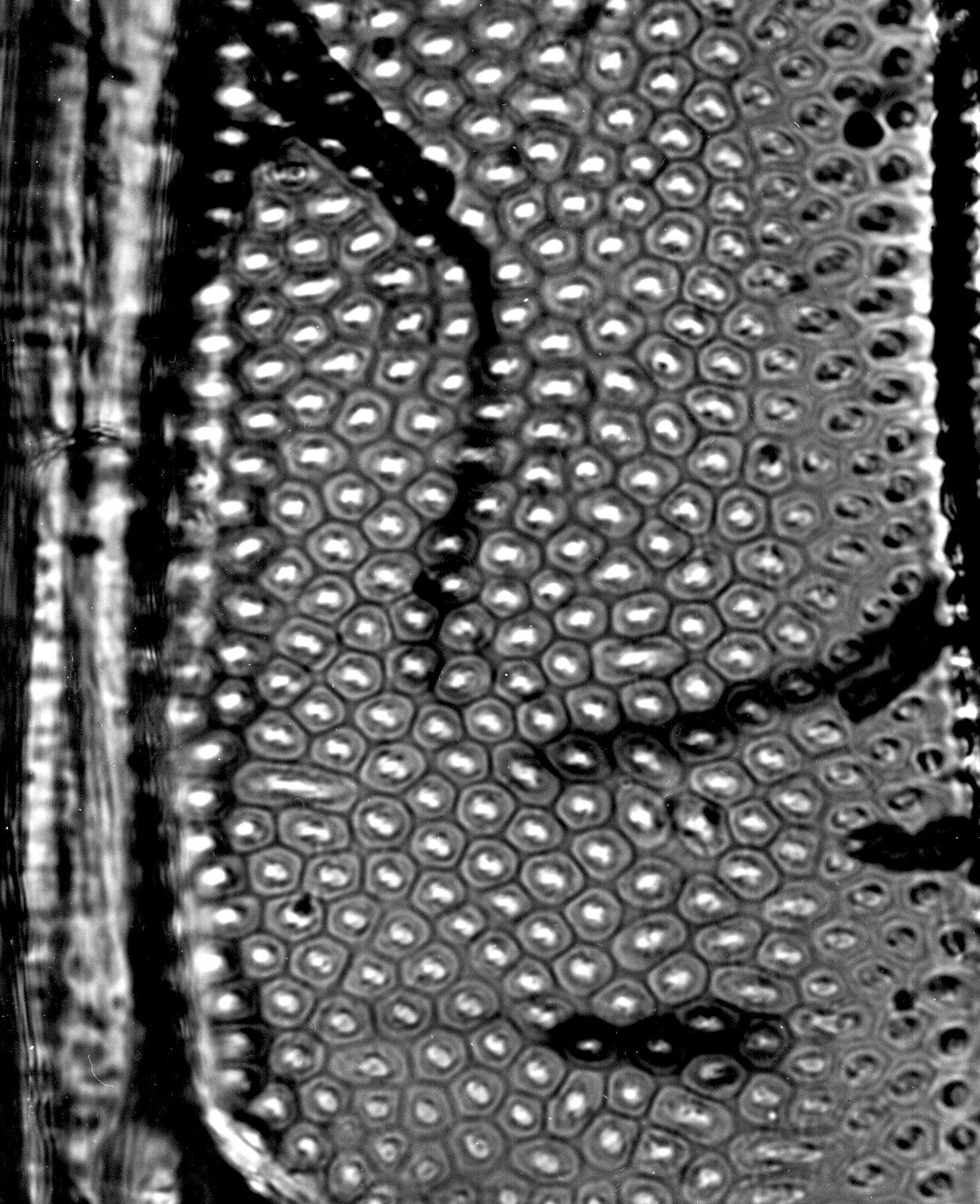ASTERACEAE Vernonia conferta