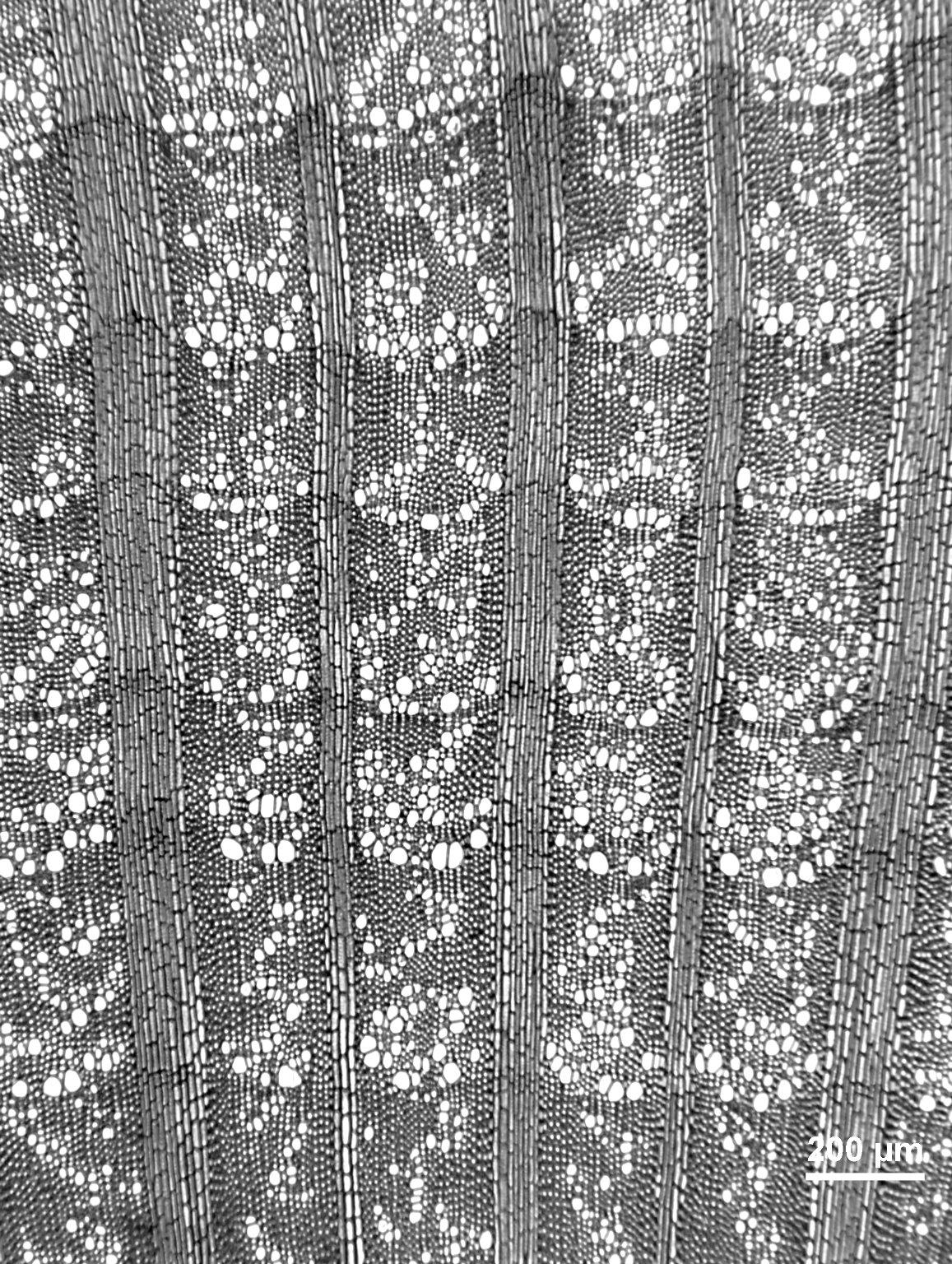 BERBERIDACEAE Berberis aquifolium