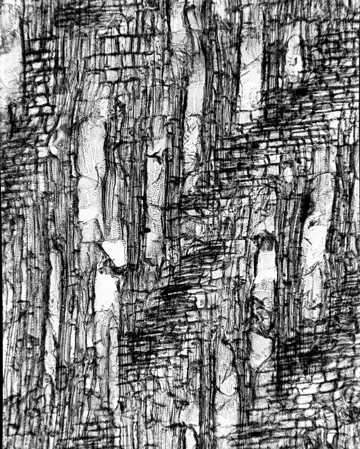CELASTRACEAE Cassine buchananii