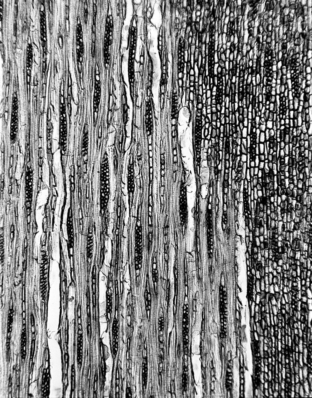 CELASTRACEAE Pleurostylia capensis