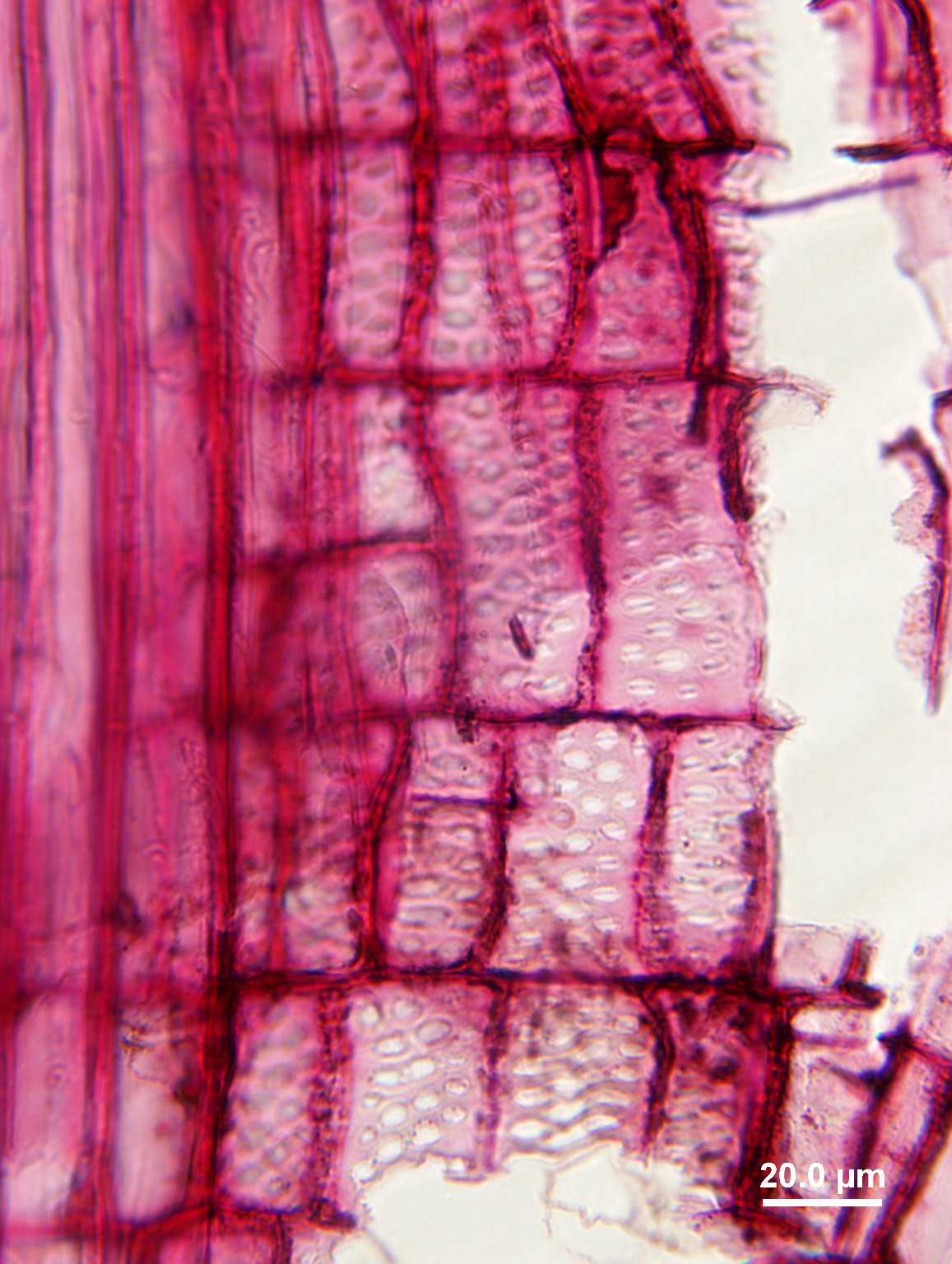 CANNABACEAE Trema orientalis