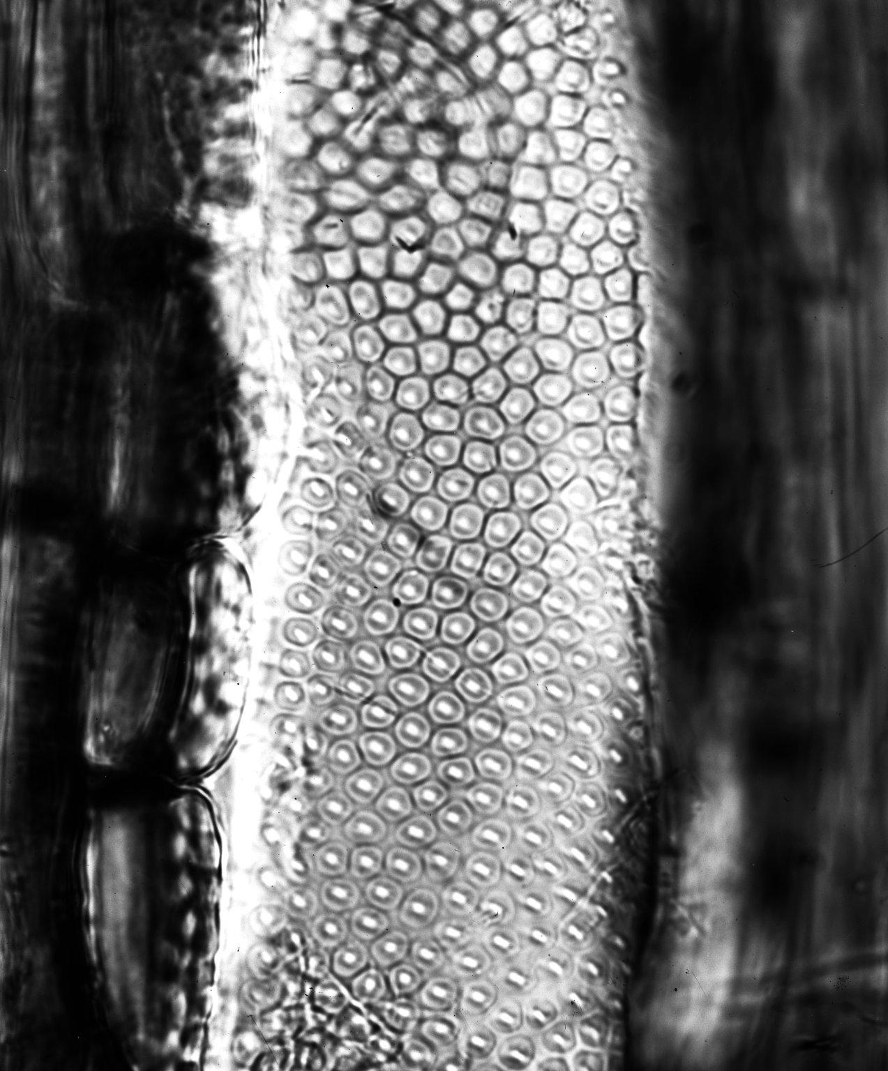 EBENACEAE Euclea crispa