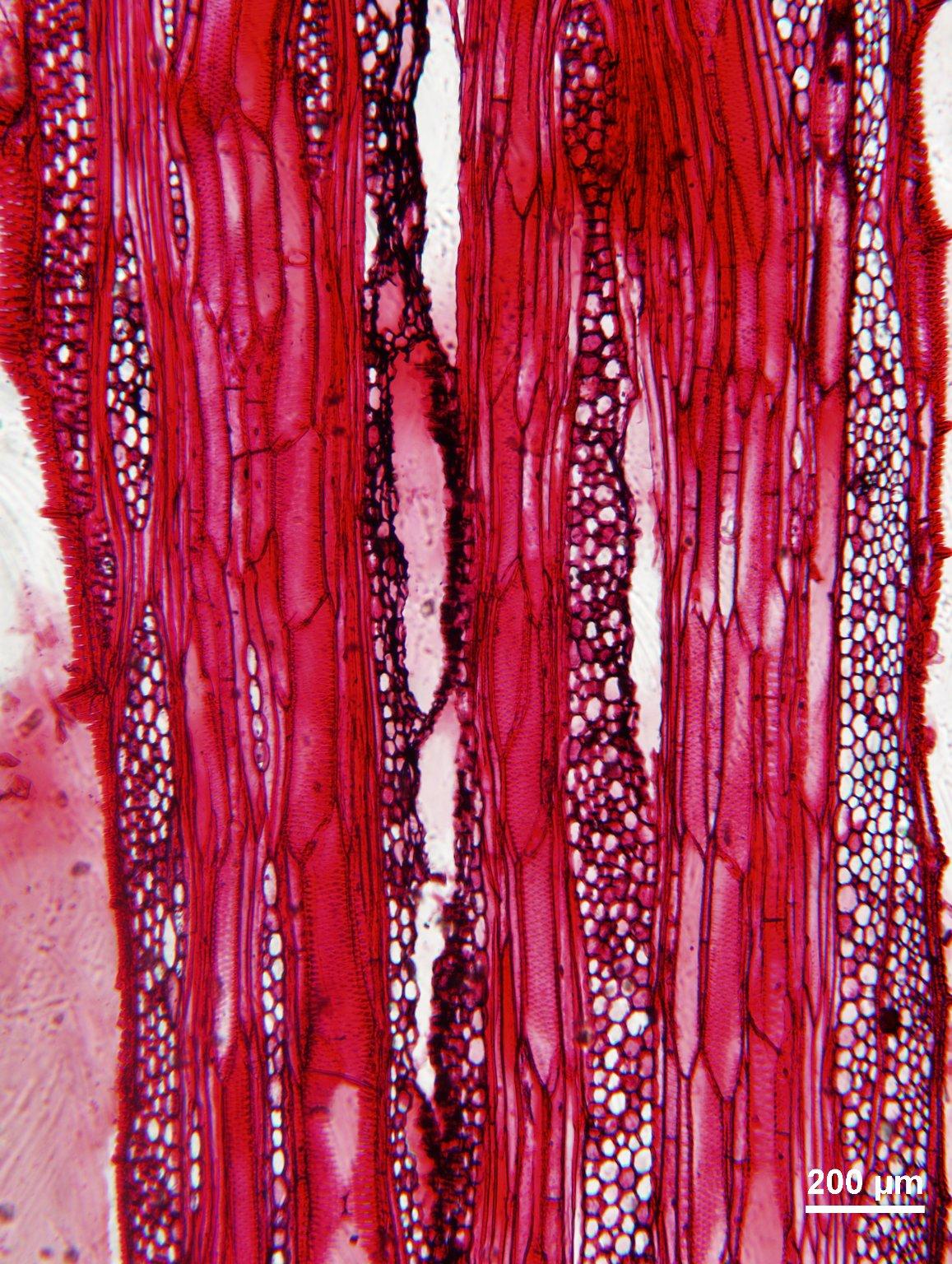 HERNANDIACEAE Illigera luzonensis
