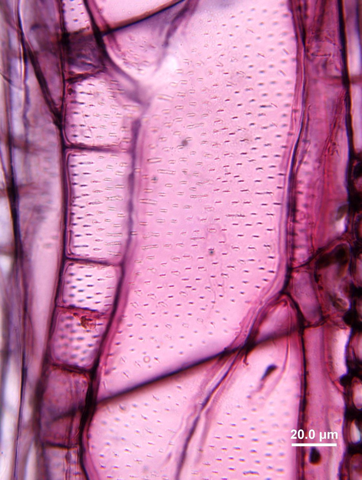 OLEACEAE Fraxinus nigra